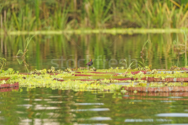 Kuş dev su lilyum Amazon rainforest Stok fotoğraf © wildnerdpix