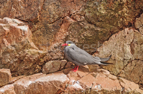 An Inca Tern on a Rocky Island Stock photo © wildnerdpix