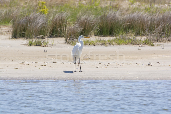 Great Egret on a Wetland Beach Stock photo © wildnerdpix
