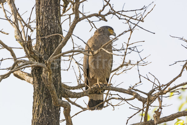 Crested Serpent Eagle Looking for Prey Stock photo © wildnerdpix