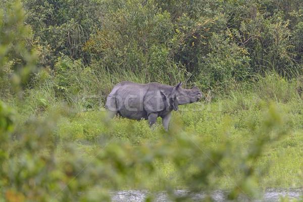 Indian Rhino in the Wilds Stock photo © wildnerdpix
