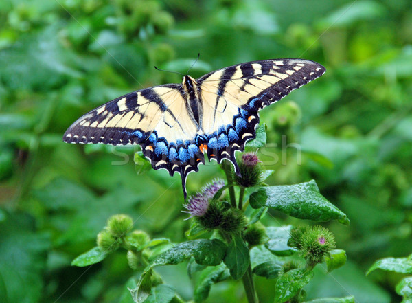 An eastern Tiger swallowtail. Stock photo © wildnerdpix