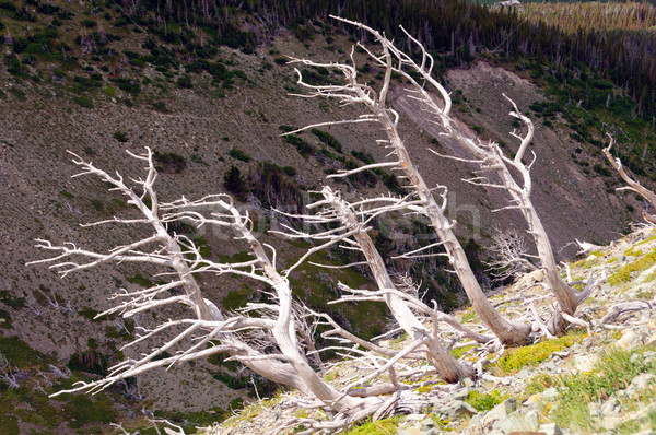 Bleached tree trunks on a mountain slope Stock photo © wildnerdpix