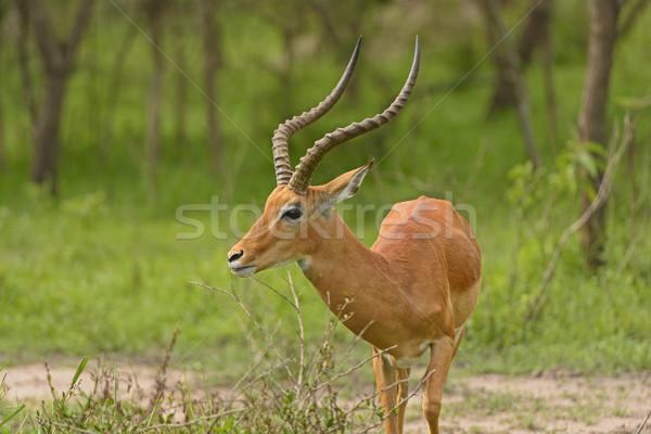 Head View of an Impala Stock photo © wildnerdpix