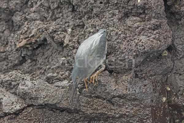 лава цапля забастовка острове удаленных довольно Сток-фото © wildnerdpix