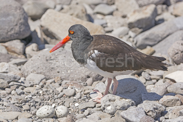 American Oystercatcher by its eggs Stock photo © wildnerdpix