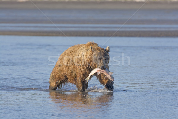 Grizzly Bear Carrying its Salmon Stock photo © wildnerdpix