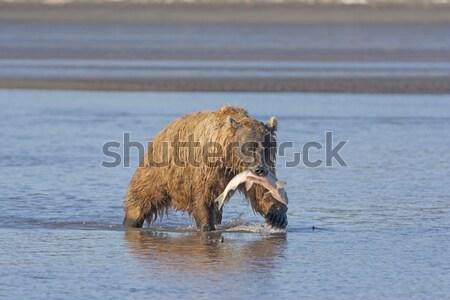Bear Feeding on Salmon Stock photo © wildnerdpix
