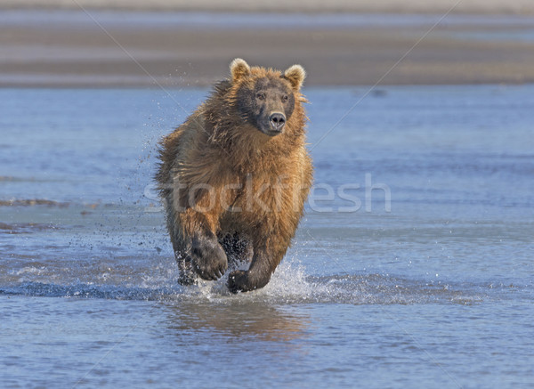 Grizzly Running after its Prey Stock photo © wildnerdpix