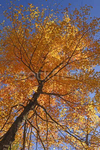 Stock photo: Looking up into a Maple in Full Fall Colors