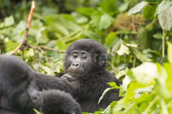 Young Gorilla in the Forest Stock photo © wildnerdpix