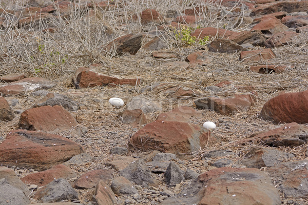 Abandonado ovos remoto ilha natureza pássaro Foto stock © wildnerdpix
