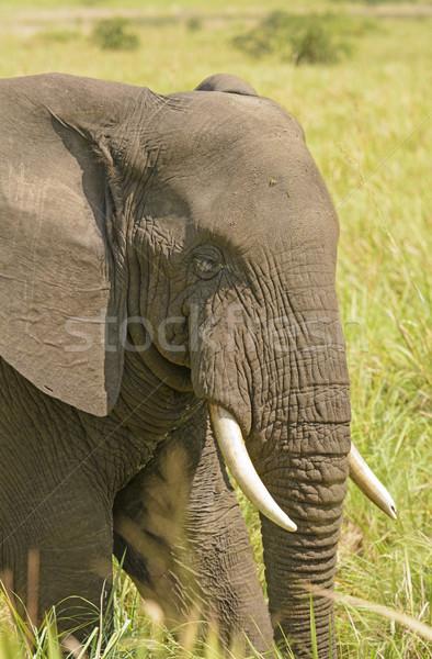 Closeup of an African Elephant Head Stock photo © wildnerdpix