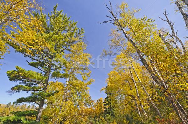 Stok fotoğraf: Sonbahar · renkleri · kuzey · orman · park · Minnesota · orman