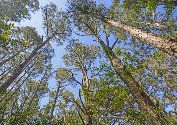 Looking up into the Pines Stock photo © wildnerdpix