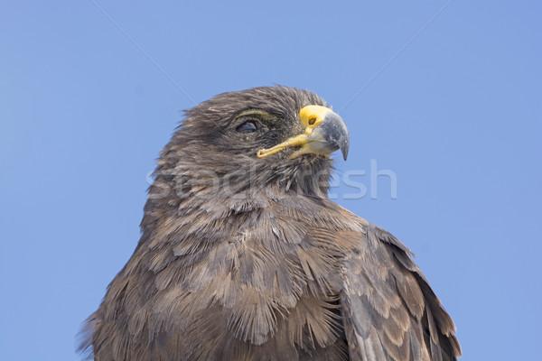 Havik eiland vogel dier biologie Stockfoto © wildnerdpix