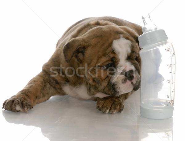 bottle feeding young puppy - english bulldog puppy laying beside baby bottle Stock photo © willeecole