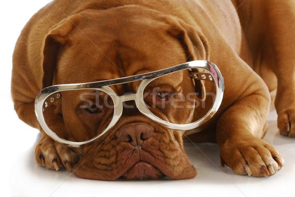 Hund tragen Gläser intelligente groß Stock foto © willeecole