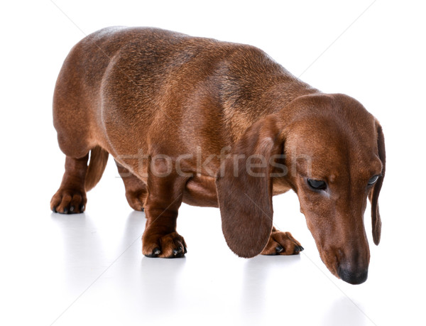 Stock photo: miniature dachshund