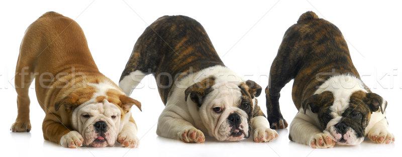 Puppies drie Engels bulldog bum omhoog Stockfoto © willeecole