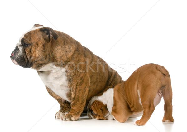nursing mother dog Stock photo © willeecole
