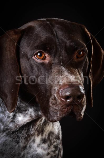 Portré fekete kutya állat stúdió díszállat Stock fotó © willeecole