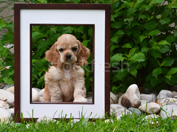 Foto perfect puppy amerikaanse vergadering achter Stockfoto © willeecole