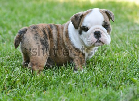 bulldog puppy Stock photo © willeecole