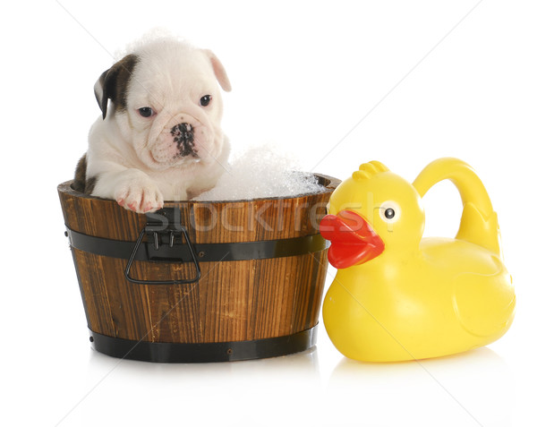 puppy bath time Stock photo © willeecole