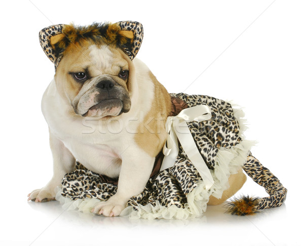 Photo stock: Chien · up · comme · chat · anglais · bulldog