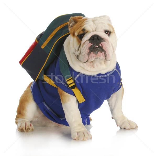 Foto stock: Cão · escolas · inglês · buldogue · azul