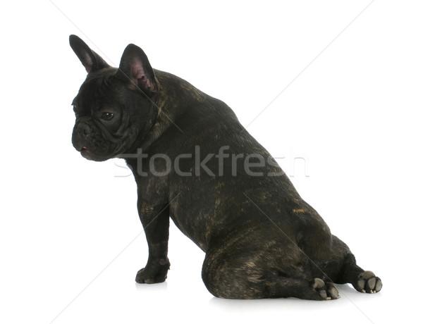 Francia bulldog ül lábak visszafelé kutya Stock fotó © willeecole