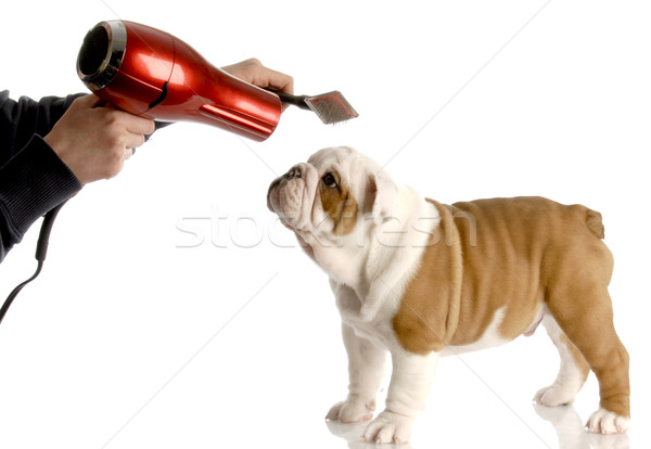 dog grooming - hands brushing nine week old english bulldog Stock photo © willeecole