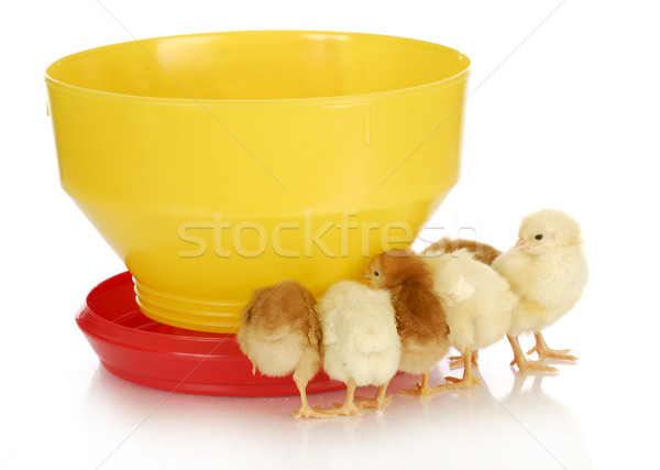 chicks at the feeder Stock photo © willeecole