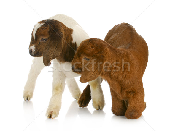 twin goats Stock photo © willeecole