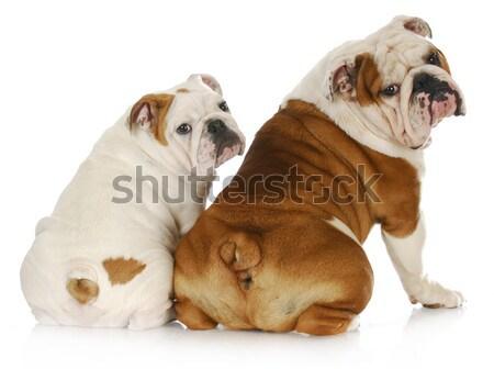 Megfélemlítés kettő angol másik szomorú kutya Stock fotó © willeecole