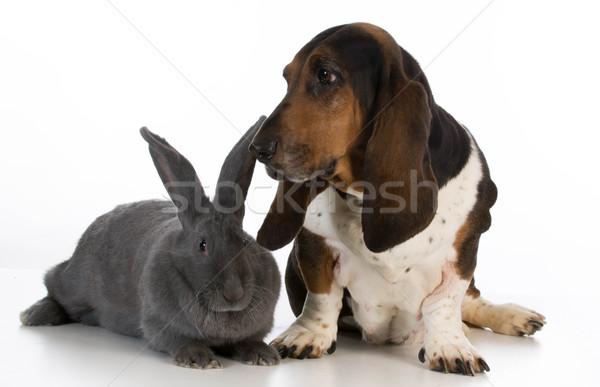 Jachthond jachthond vergadering naast reus konijn Stockfoto © willeecole