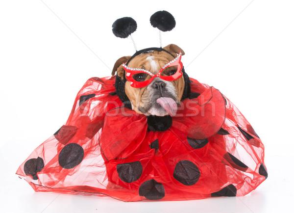 собака подобно Ladybug английский бульдог Сток-фото © willeecole