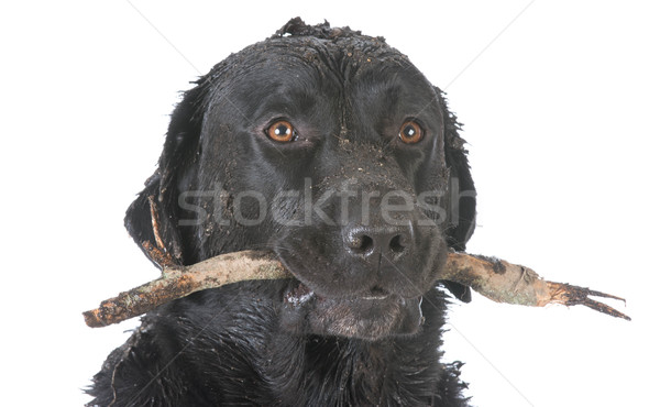 dog retrieving a stick Stock photo © willeecole