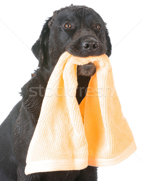dog waiting for bath Stock photo © willeecole