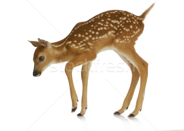 fawn Stock photo © willeecole
