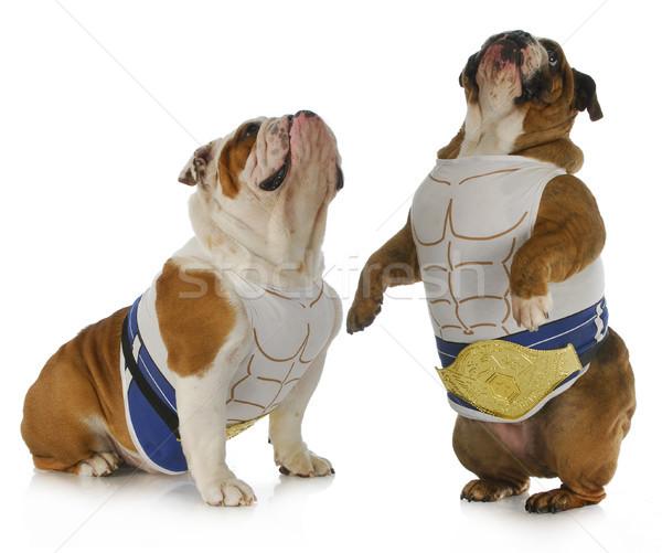 Erős kutya kettő angol visel izom Stock fotó © willeecole