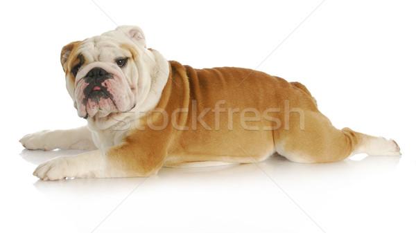 Kutya nyújtott ki fekszik angol bulldog Stock fotó © willeecole