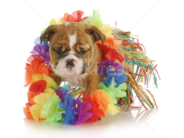 puppy hula dancer Stock photo © willeecole