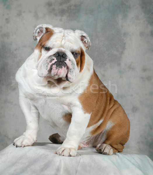 english bulldog portrait Stock photo © willeecole