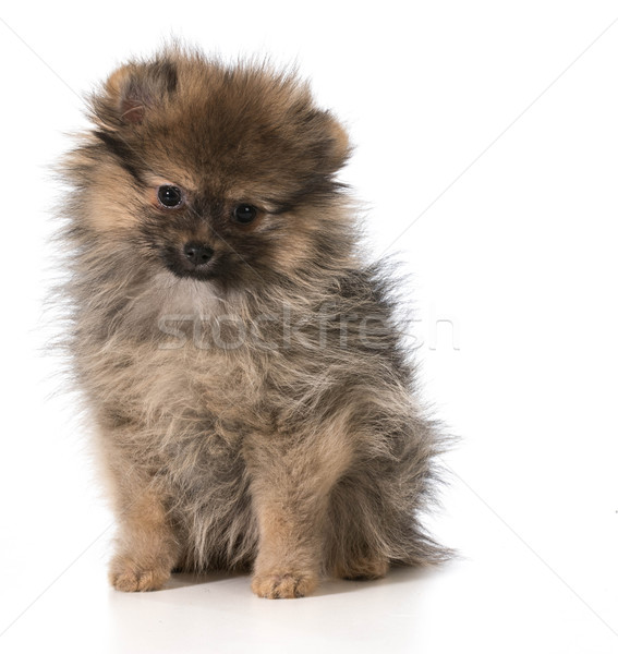 pomeranian puppy sitting looking at viewer isolated on white background Stock photo © willeecole