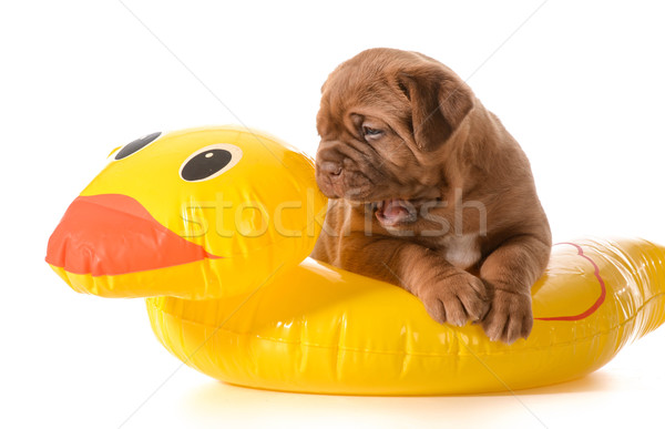 dog water safety Stock photo © willeecole