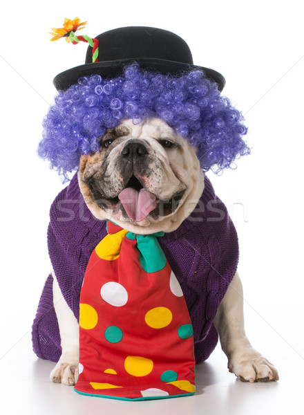 愚かな 犬 着用 ピエロ 衣装 白 ストックフォト © willeecole
