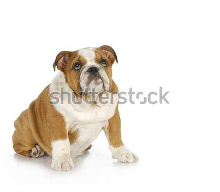 Puppy bulldog maanden oude trein triest Stockfoto © willeecole