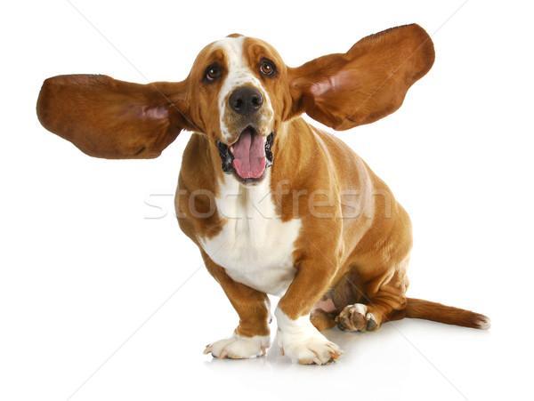 Stockfoto: Gelukkig · hond · witte · vergadering · huisdier · cute